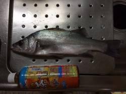 紀ノ川河口周辺でメバル・ヒラセイゴ 夜釣りでの釣果です