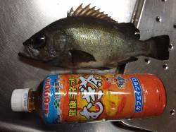 紀ノ川河口 夜釣りでメバル、深めのタナを狙って何とかゲット