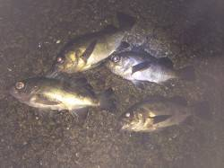 紀ノ川河口周辺ウキ釣り かなりの引きでアコウ!潮の変わり目にメバル4連発