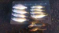 兵庫突堤 サビキで型のいいアジの釣果 ほかハゼ・チヌも掛かりました