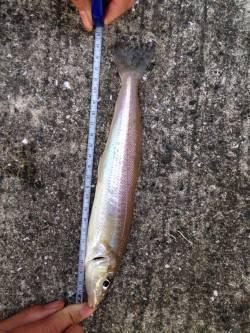 須磨にて投げ釣り カレイはきませんでしたがキスが釣れました