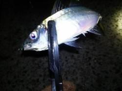 岩屋 深夜からのアジング釣行でアジ〜19cm5尾