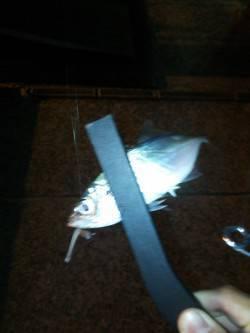 洲本港でアジング 常夜灯にアジたまっていましたがなかなか乗らず…