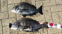 丸1日フカセでチヌ釣り 朝は大阪港で46㎝と51㎝、午後は南港で44㎝のチヌ