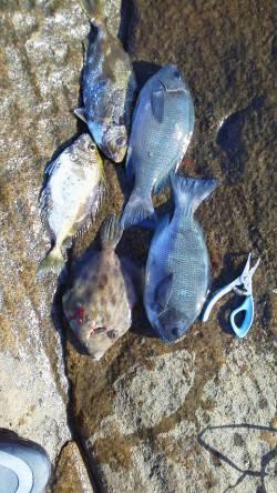 カツオ島 フカセでグレ・イサギ・アイゴ 水温高くエサ取り多かったです