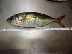 助松埠頭周辺のアジング釣行 26~28cmのいいアジ居ました!