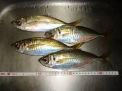 貝塚周辺 仕事終わりのアジングでアジ・ガシラ デカアジも釣れました