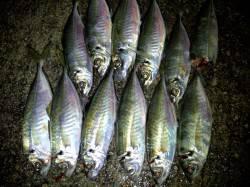 淡路島・野田でアジング 最大29cmのアジがコンスタントに釣れて納得釣果