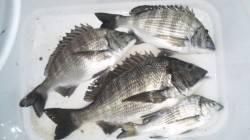 日高川河口フカセでチヌ狙い 本命のチヌ4匹のほかボラ・フグなどアタリ多数