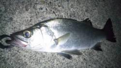 ナイトシーバスに行ってきました! 阿尾漁港周辺でヒラスズキの釣果