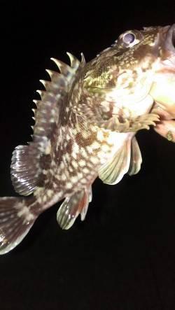 西宮浜 探り釣りでガシラ10~20cm6匹の釣果