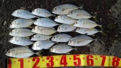 マリーナシティ 朝〜昼にルアーでメッキ釣り 昼からはヒット数少ないです