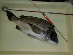 汐見埠頭周辺 約15年振りのフカセ釣りでチヌ47.7センチ!