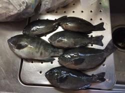 北港 カゴ釣りでグレの釣果出てます☆