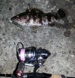 淀川河口周辺にてチニングは反応なくガシラ・タケノコメバルの釣果