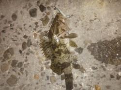 東二見 極寒の中でのメバリング タケノコメバルとガシラの釣果