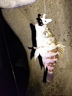 樽井漁港周辺にてメバリング メバルのサイズは小さめでしたが数釣れました