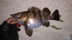 初釣りは須磨周辺にてメバリング 中層~ボトムでメバルが釣れました
