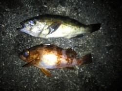 香住東港メバリング 氷点下の初釣りで本命のメバルに出会えよかったです♪