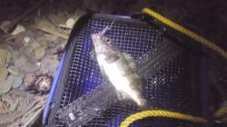 谷川漁港周辺のゴロタ場にてメバリング…釣果は小メバルでした