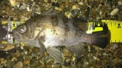 塩屋海岸 ゴロタへ初釣り、浅場でメバル&ガシラがポコポコよく釣れました♫