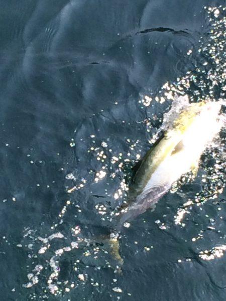 ハマチ釣れました