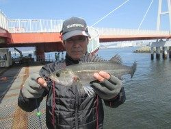 尼崎市立魚つり公園 エビ撒きズボ釣りでセイゴの釣果