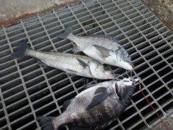 大阪南港海釣り公園 チヌ・ハネの釣果