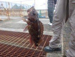 南港海釣り公園 ガシラ&チヌの釣果