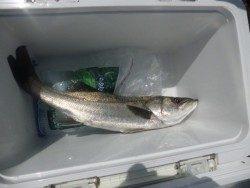 大阪南港海釣り公園 60cm級のハネが釣れました