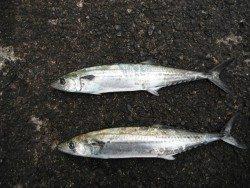 和歌山北港魚つり公園 サゴシが釣れています♪
