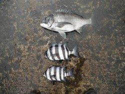 北港魚釣り公園 チヌ&サンバソウの釣果