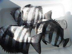 和歌山北港魚つり公園 サンバソウの釣果