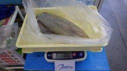 みなべ一本松漁港 エギングでアオリイカ1.76kg