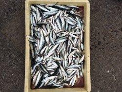 和歌山マリーナシティ海釣り公園 サビキでイワシ・サバ・豆アジ
