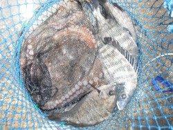 和歌山北港魚つり公園 良型釣れてます!