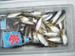 和歌山北港魚つり公園 豆アジ釣れています!