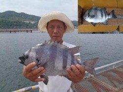 須磨海釣り公園 落とし込みでイシダイ39.5cm!