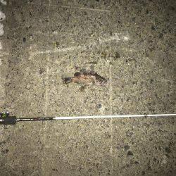 手のひらサイズのソイ好調   岩手   釣果情報 堤防 ジギング 船釣 管理釣り場 釣り情報   カンパリ全国版