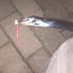 朝マズメ太刀魚