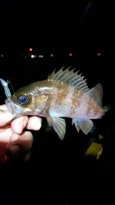 雨の中メバリング   鳥取   釣果情報 堤防 ジギング 船釣 管理釣り場 釣り情報   カンパリ全国版