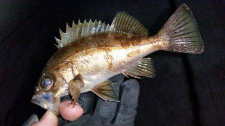 釣り納めメバリング | 鳥取 | 釣果情報 堤防 ジギング 船釣 管理釣り場 釣り情報 | カンパリ全国版