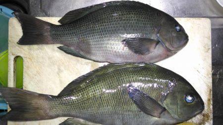 グレ好調 | 徳島 | 釣果情報 堤防 ジギング 船釣 管理釣り場 釣り情報 | カンパリ全国版