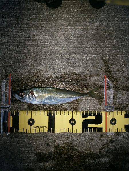 ライトで3目 | 兵庫県(日本海側) | 釣果情報 堤防 ジギング 船釣 管理釣り場 釣り情報 | カンパリ全国版