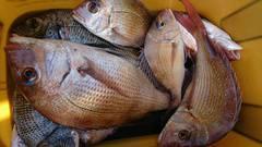 まこと渡船 釣果   岡山   釣果情報 堤防 ジギング 船釣 管理釣り場 釣り情報   カンパリ全国版