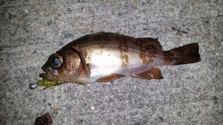 初メバリング | 鳥取 | 釣果情報 堤防 ジギング 船釣 管理釣り場 釣り情報 | カンパリ全国版