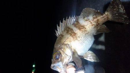 メバリング | 鳥取 | 釣果情報 堤防 ジギング 船釣 管理釣り場 釣り情報 | カンパリ全国版
