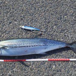 サゴシ連続釣行 | 鳥取 | 釣果情報 堤防 ジギング 船釣 管理釣り場 釣り情報 | カンパリ全国版