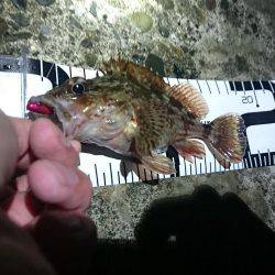 カサゴばかり、そろそろアジを釣りたい。(赤灯台16時~19時)