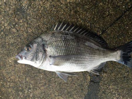 初ちぬ   長崎   釣果情報 堤防 ジギング 船釣 管理釣り場 釣り情報   カンパリ全国版